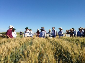 Scientists and members of the international wheat community observe wheat trials in Obregon, Mexico, March 2015. (Photo: Julie Mollins/CIMMYT)