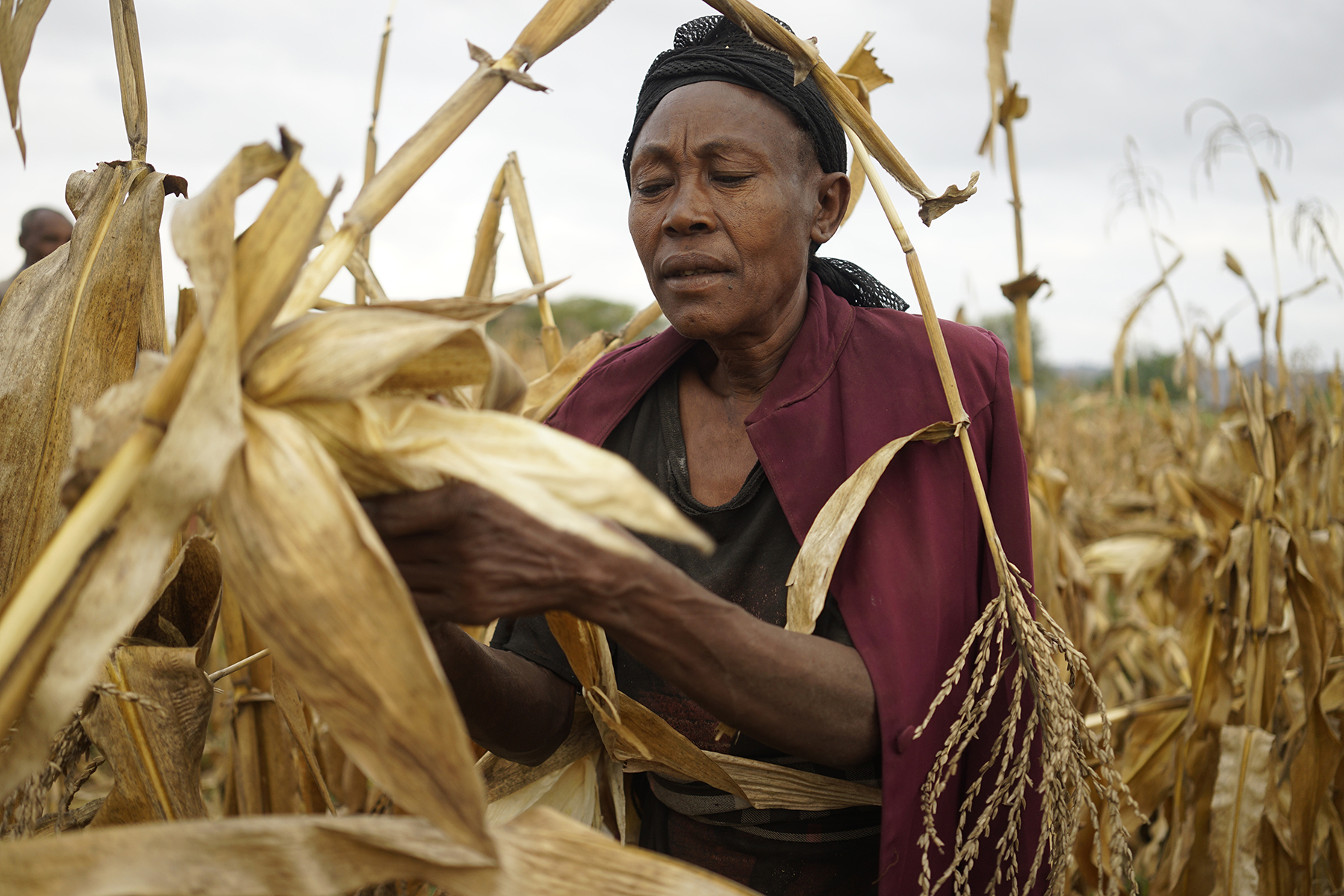 Grandmother harvests drought-tolerant maize in Lobu village, Koromo, Hawassa Zuria district, Ethiopia. (Photo: P. Lowe/CIMMYT)