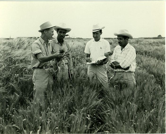 Norman Borlaug works with researchers in the field. (Photo: CIMMYT archives)
