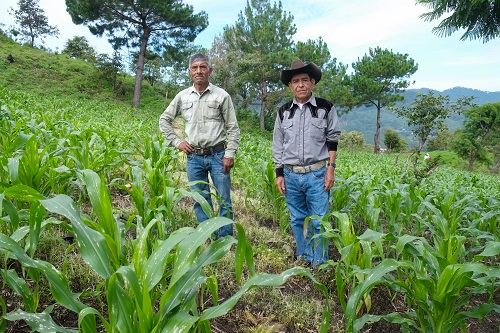 Chatino men stand in a maize field in Santiago Yaitepec, Oaxaca, Mexico. Tar spot complex threatened harvests, but work in participatory breeding with CIMMYT has helped local communities to improve their native maize without loosing preferred traits. (Photo: Matthew O'Leary)