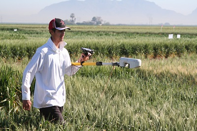 A CIMMYT technician uses a hand-held sensor to measure NDVI (normalized difference vegetative index) in a wheat field at the center's CENEB experiment station near Ciudad Obregón, Sonora, northern Mexico. Photo: CIMMYT.