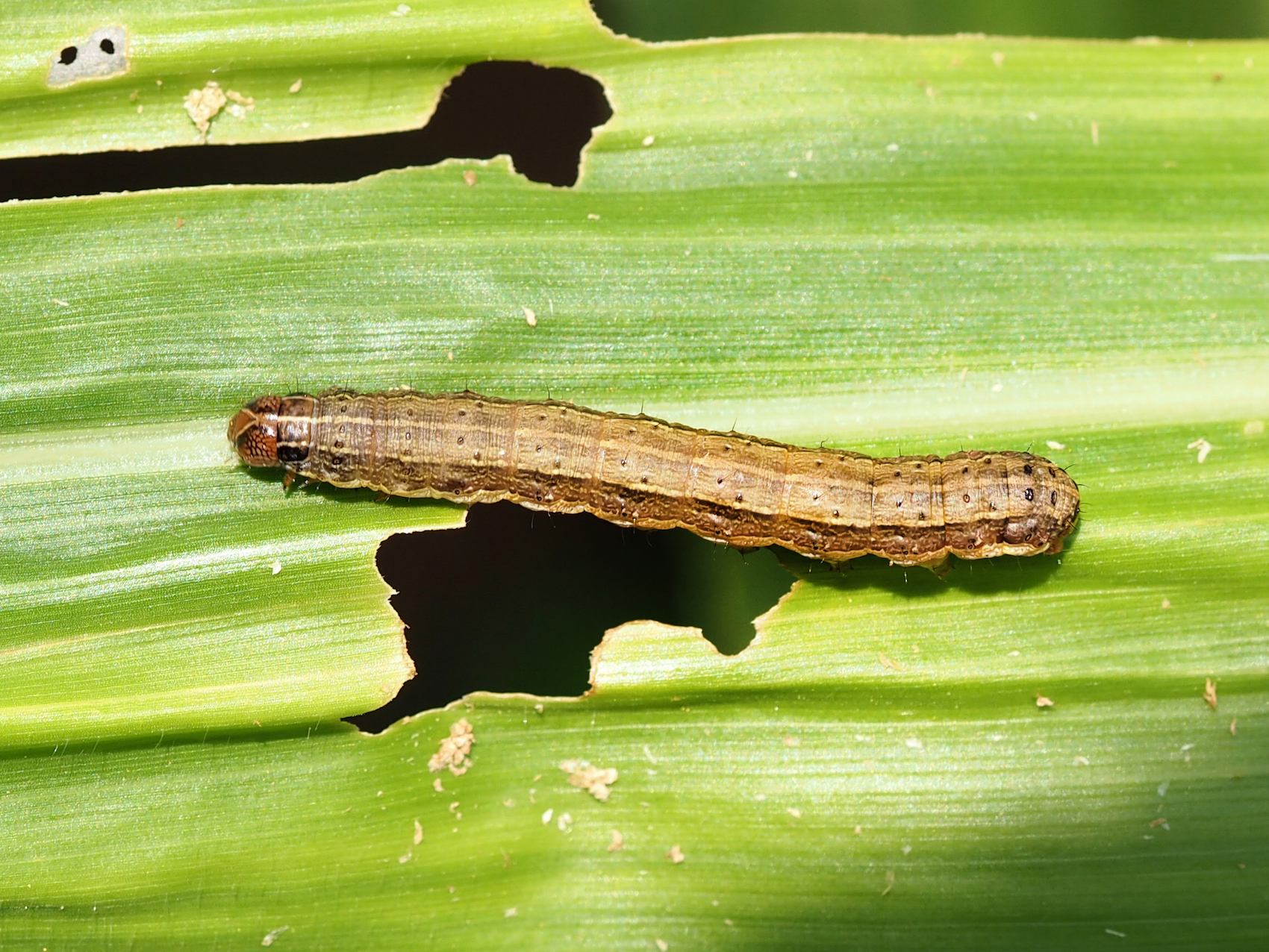 A fall armyworm on a damaged leaf in Nigeria, 2017. (Photo: G. Goergen/IITA)