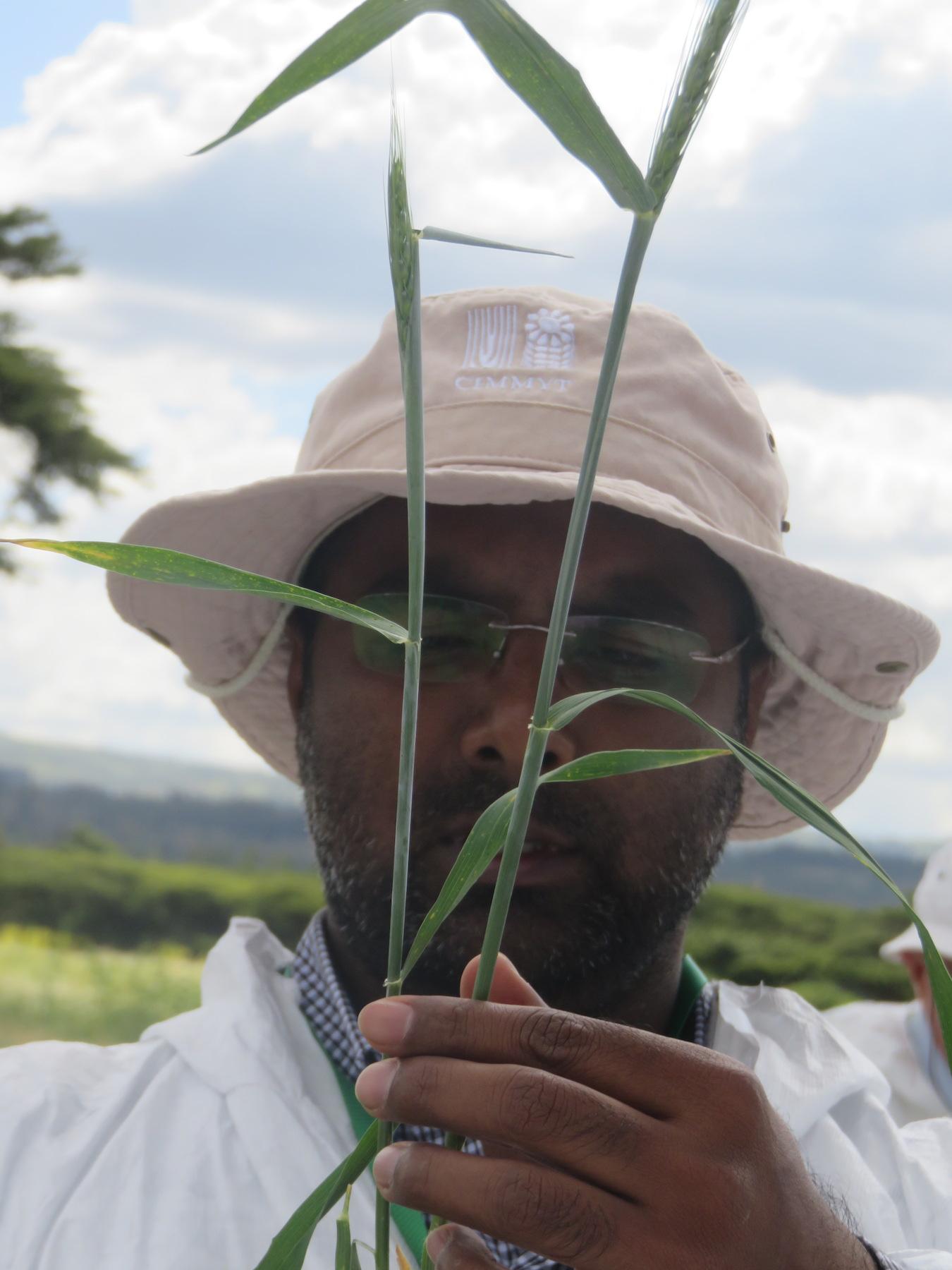 CIMMYT scientist Mandeep Randhawa indicates exact wheat plant stage for stem rust inoculation during the wheat stem rust training. (Photo: KALRO)