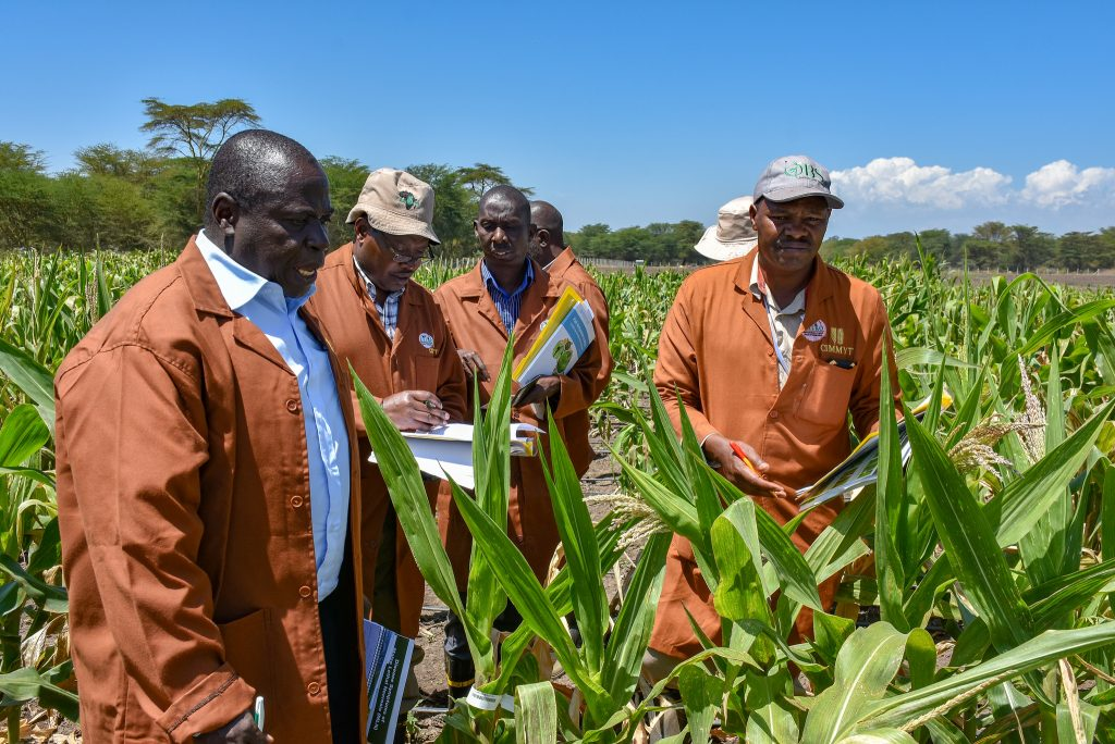 CIMMYT partners visit the Maize Lethal Necrosis screening facility in Kenya. (Photo: Joshua Masinde/CIMMYT)