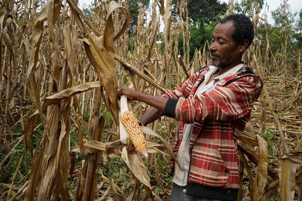 Farmer Gudeye Leta harvests his local variety maize in Dalecho village, Gudeya Bila district, Ethiopia. (Photo: Peter Lowe/CIMMYT)