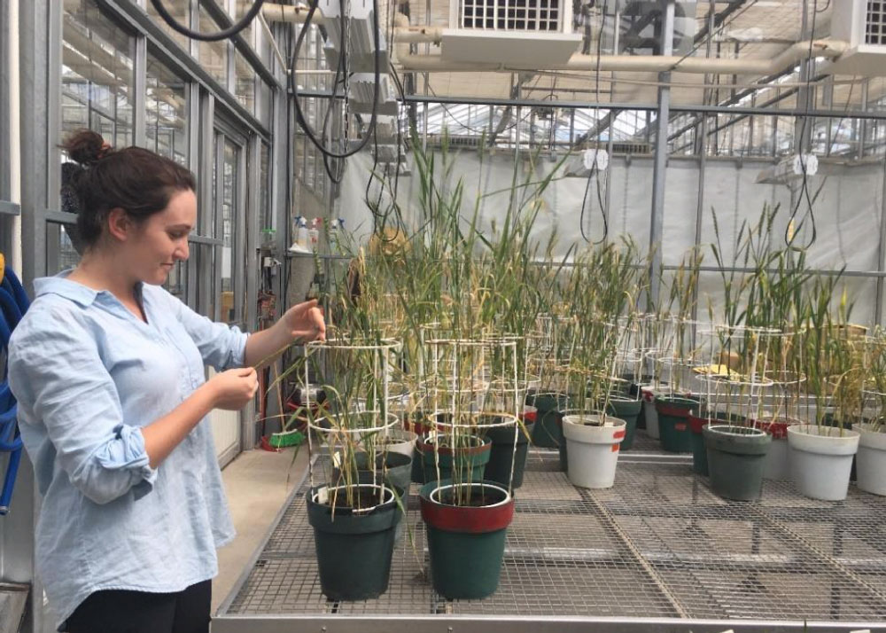 Researcher Tamaya Peressini performs disease evaluations 10 days post infection at CIMMYT's glasshouse facilities.