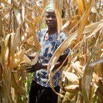 A farmer holds a cob from a Ms44 hybrid during on-farm evaluations in Kakamega, Kenya. (Photo: Virginia Ndungu/KALRO)