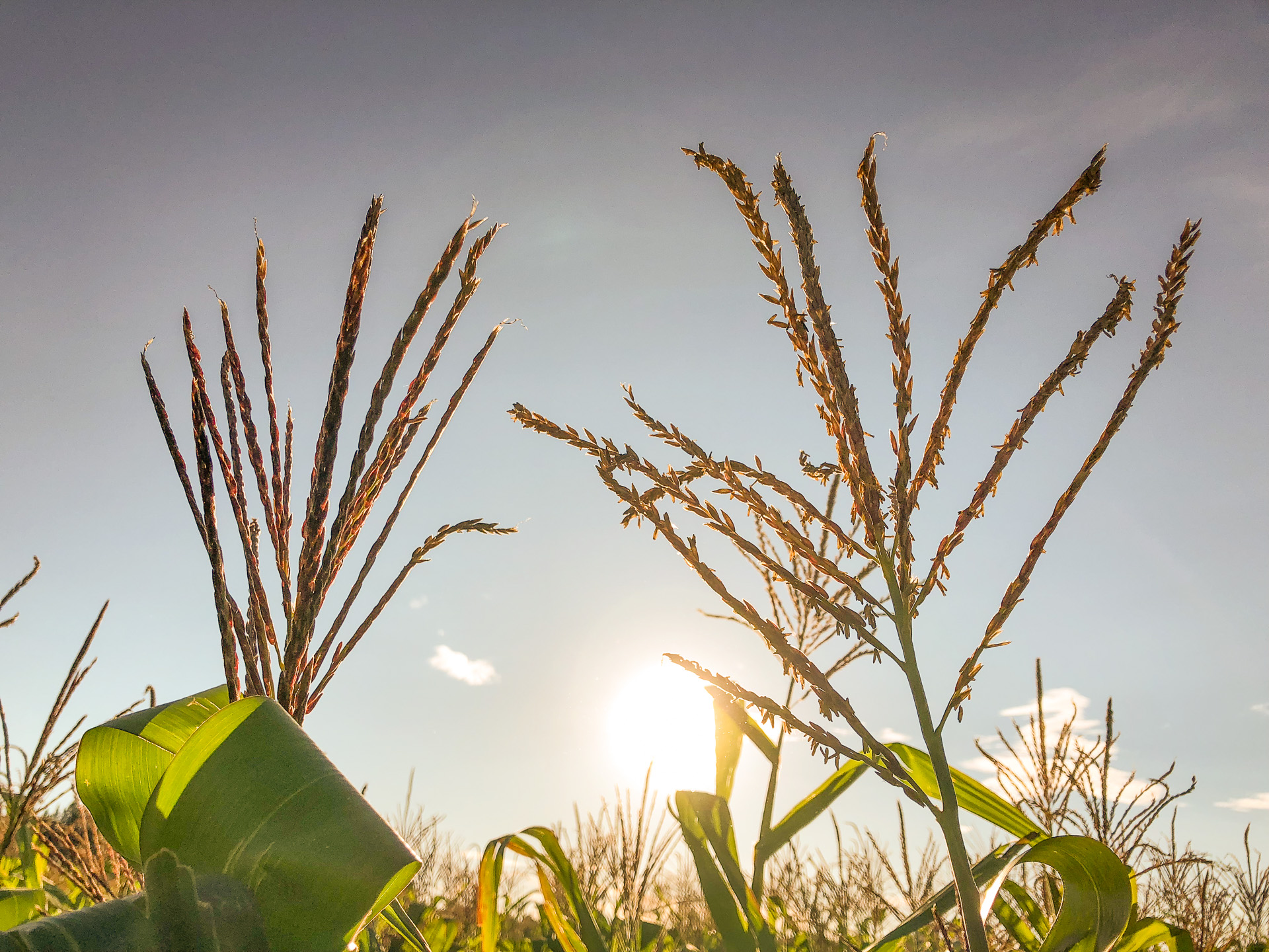 A non-pollen-producing plant (on the left) on a farm trial in Zimbabwe. (Photo: Jill Cairns/CIMMYT)