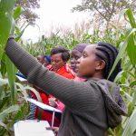 Smallholder farmers evaluate Ms44 hybrids in Embu, Kenya. (Photo: Hugo De Groote/CIMMYT)