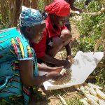 Smallholder farmers remove kernels from cobs during an on-farm evaluation of Ms44 hybrids in Kakamega, Kenya. (Photo: Virginia Ndungu/KALRO)
