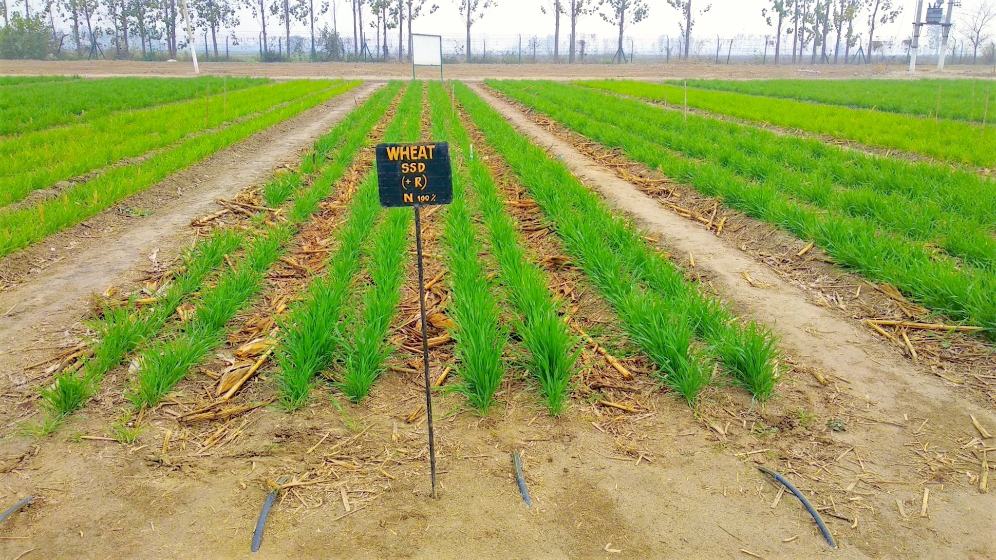 During the study, researchers used a sub-surface drip fertigation system, combined with conservation agriculture approaches, on wheat fields. (Photo: Naveen Gupta/CIMMYT)