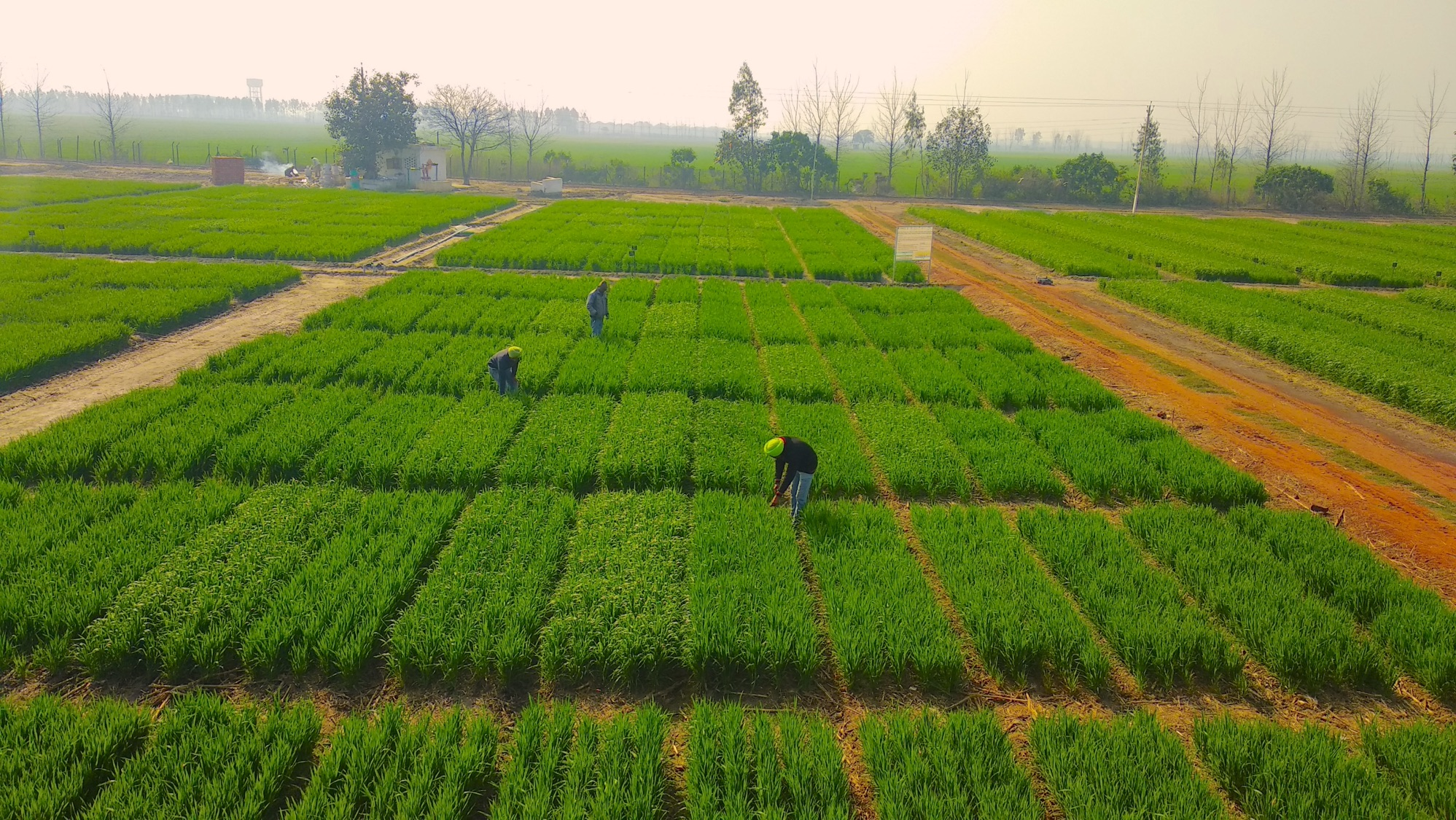 A pioneering study demonstrates how rice and wheat can be grown using 40 percent less water, through an innovative combination of existing irrigation and cropping techniques. (Photo: Naveen Gupta/CIMMYT)