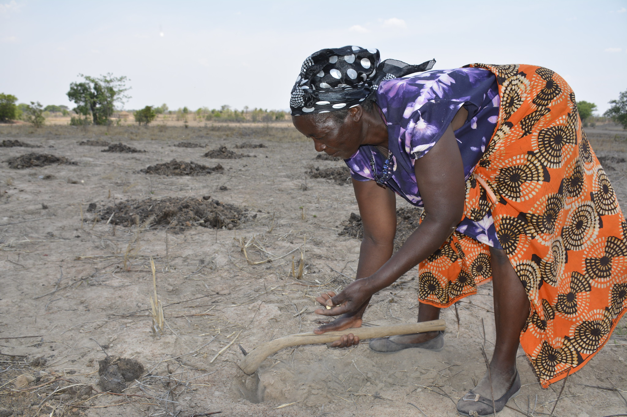Zimbabwean smallholder farmer Appolonia Marutsvaka, of drought-prone Zaka District, demonstrates planting drought-tolerant and heat stress maize seed. (Photo: Johnson Siamachira/CIMMYT)