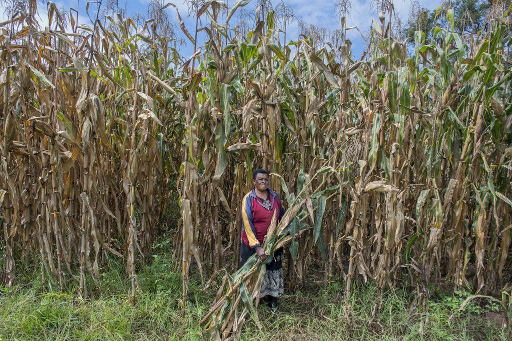 La agricultora Florence Ochieng cosecha maíz verde en su granja familiar de 105 acres cerca de Kitale, Kenia. (Foto: P. Lowe/CIMMYT)