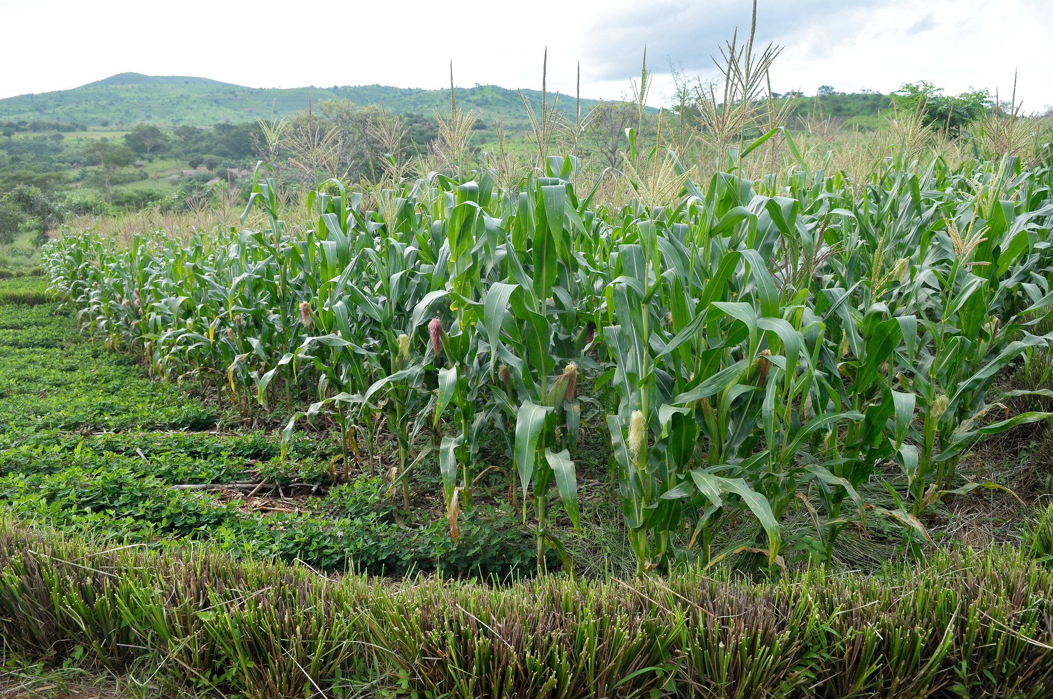 A farmer's field in Malawi under conservation agriculture, showing rotation of maize and groundnut, and the retention of crop residues. (Photo: T. Samson/CIMMYT)