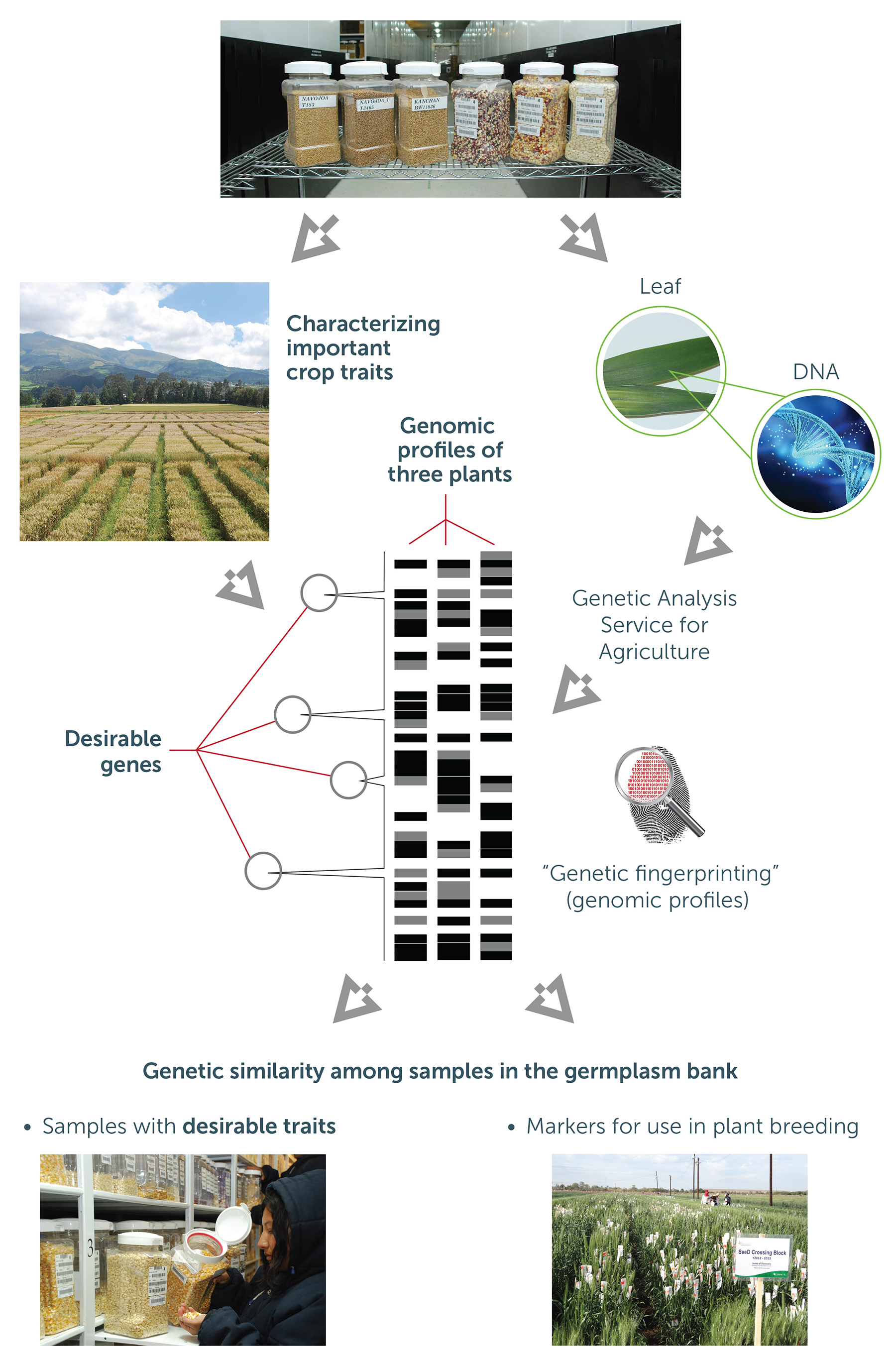 Harnessing genetic resources for the nutrition and well-being of current and future generations.