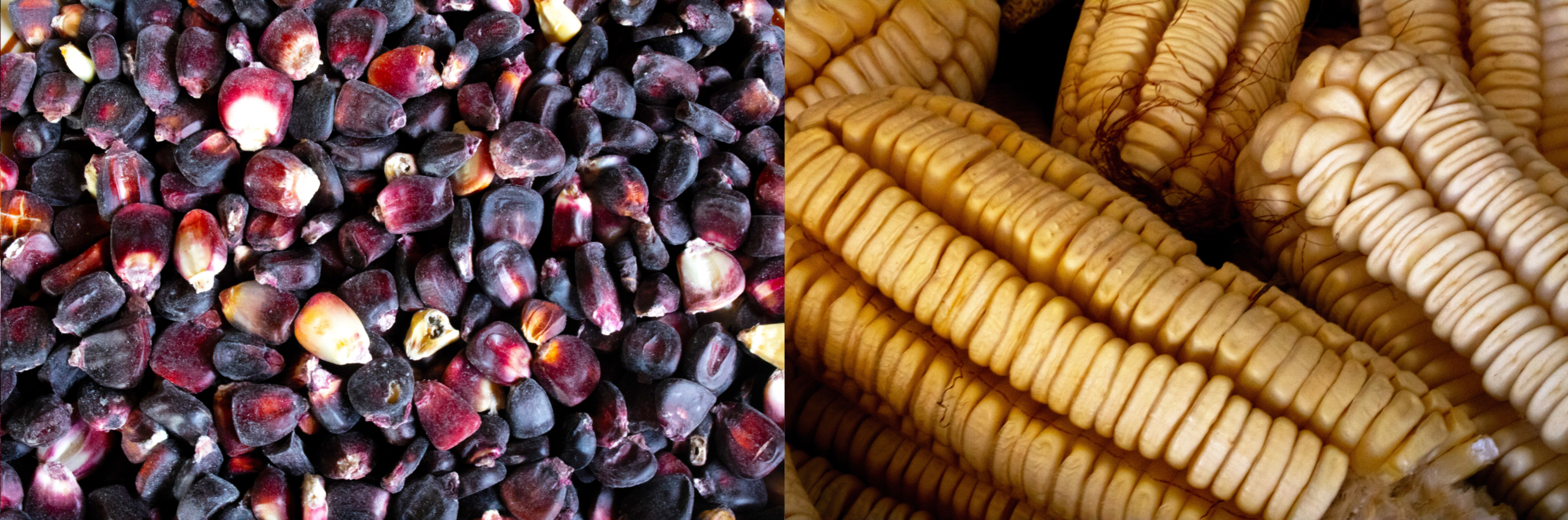 Maíz colorado (left), or red maize, is an important part of the family's diet. The family's Ancho maize (right) has characteristically wide and flat kernels, and is a key ingredient of the pozole stew. (Photo: E. Orchardson/CIMMYT)