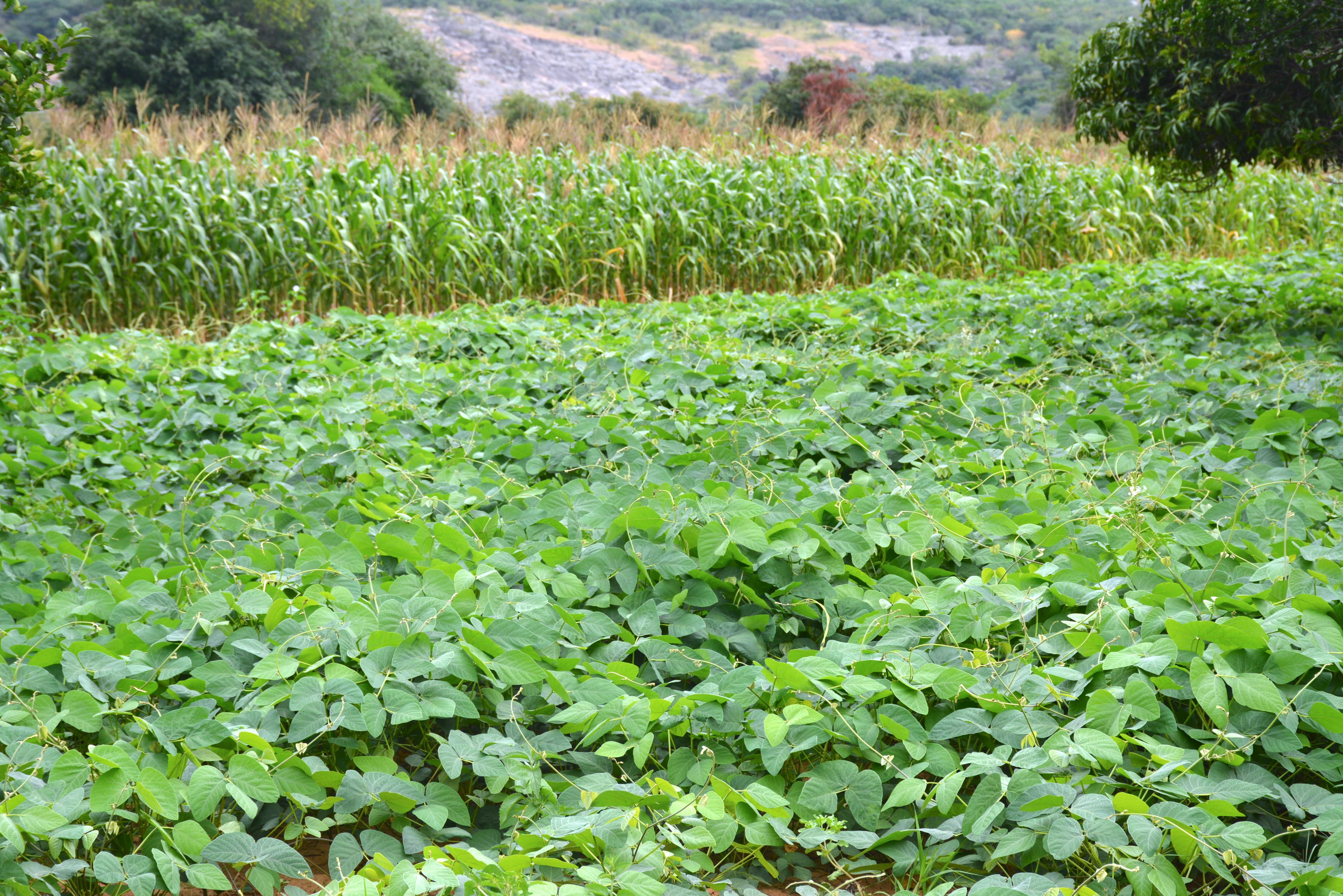 Crop rotation of maize and velvet bean at Kumbirai and Lilian Chiambadzwa's plot has guaranteed high yields in an El Nino season. (Photo: Shiela Chikulo/CIMMYT)