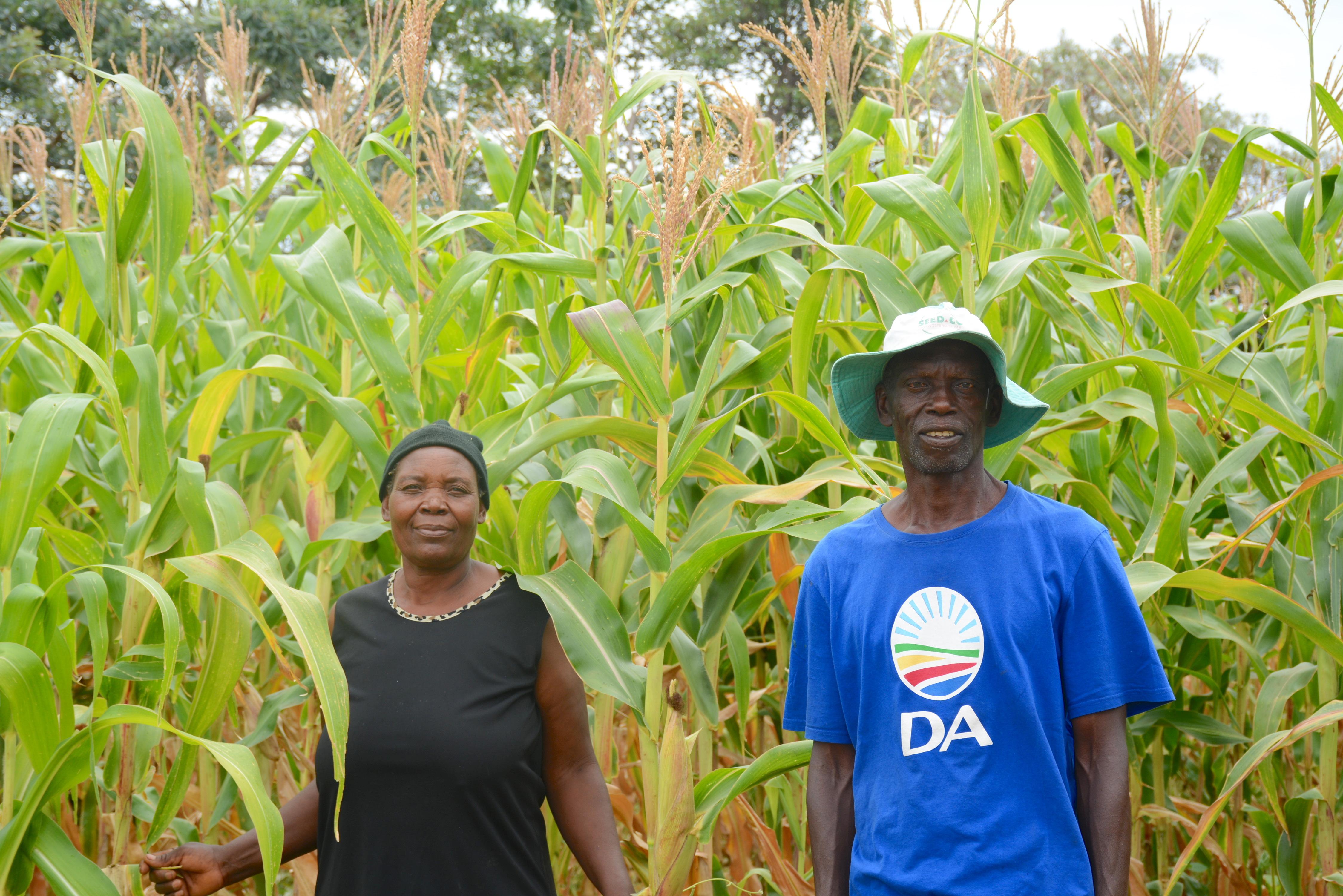Netsai Garwe (left) and Cosmas Garwe in their maize field, Ward 4, Murewa district, Zimbabwe. (Photo: Shiela Chikulo/CIMMYT)