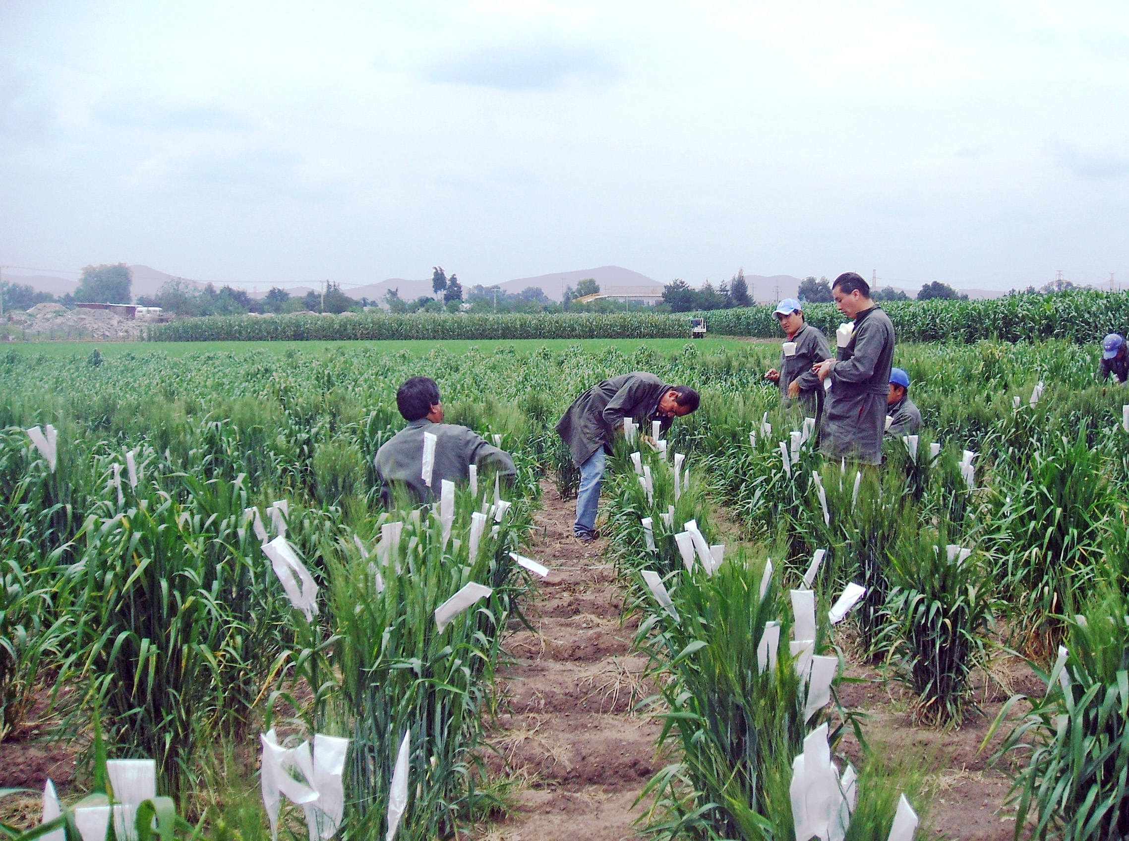 CIMMYT field workers working on wheat crossing as part of the breeding process. (Photo: CIMMYT)