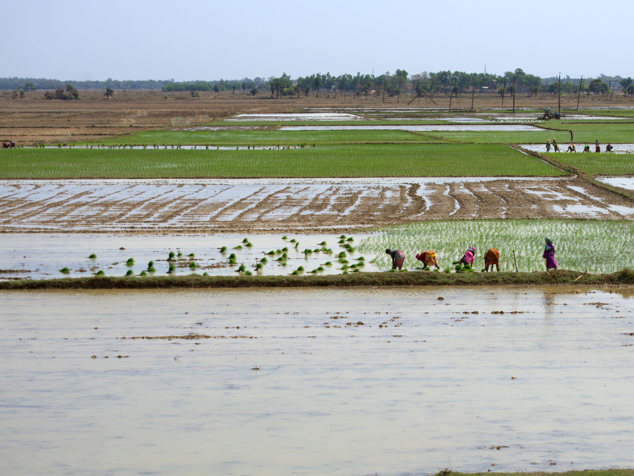 Farmers work on rice paddies. (Photo: Dakshinamurthy Vedachalam/CIMMYT)