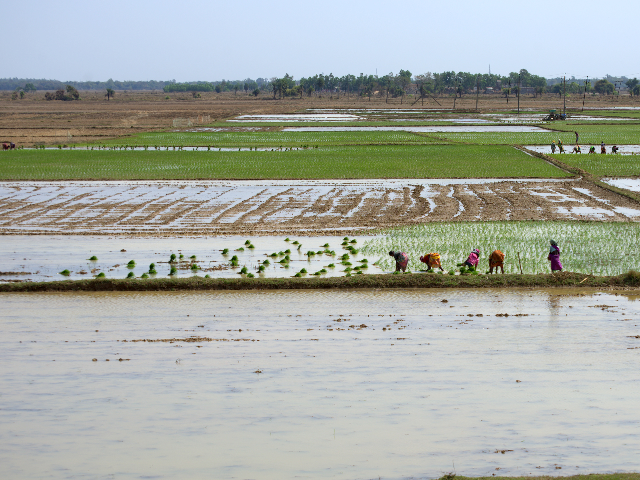 Farmers work on rice paddies. (Photo: Dakshinamurthy Vedachalam/CIMMYT)