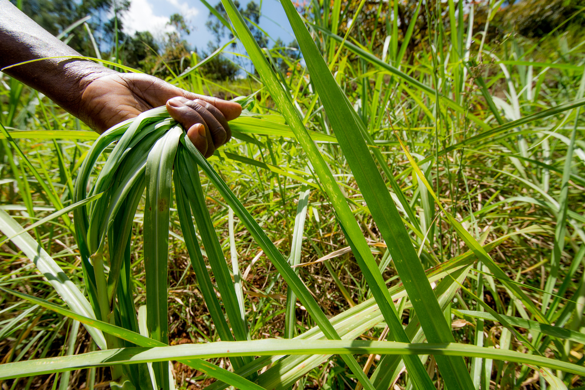 Napier grass is planted by farmers to prevent soil erosion in Kenya's Tana River Basin. (Photo: Georgina Smith/CIAT)