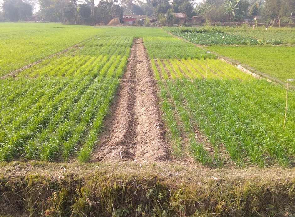 A trial field to evaluate the performance of briquetted urea and polymer-coated urea on wheat, in Kailali district, Nepal. (Photo: Uttam Kuwar/CIMMYT)