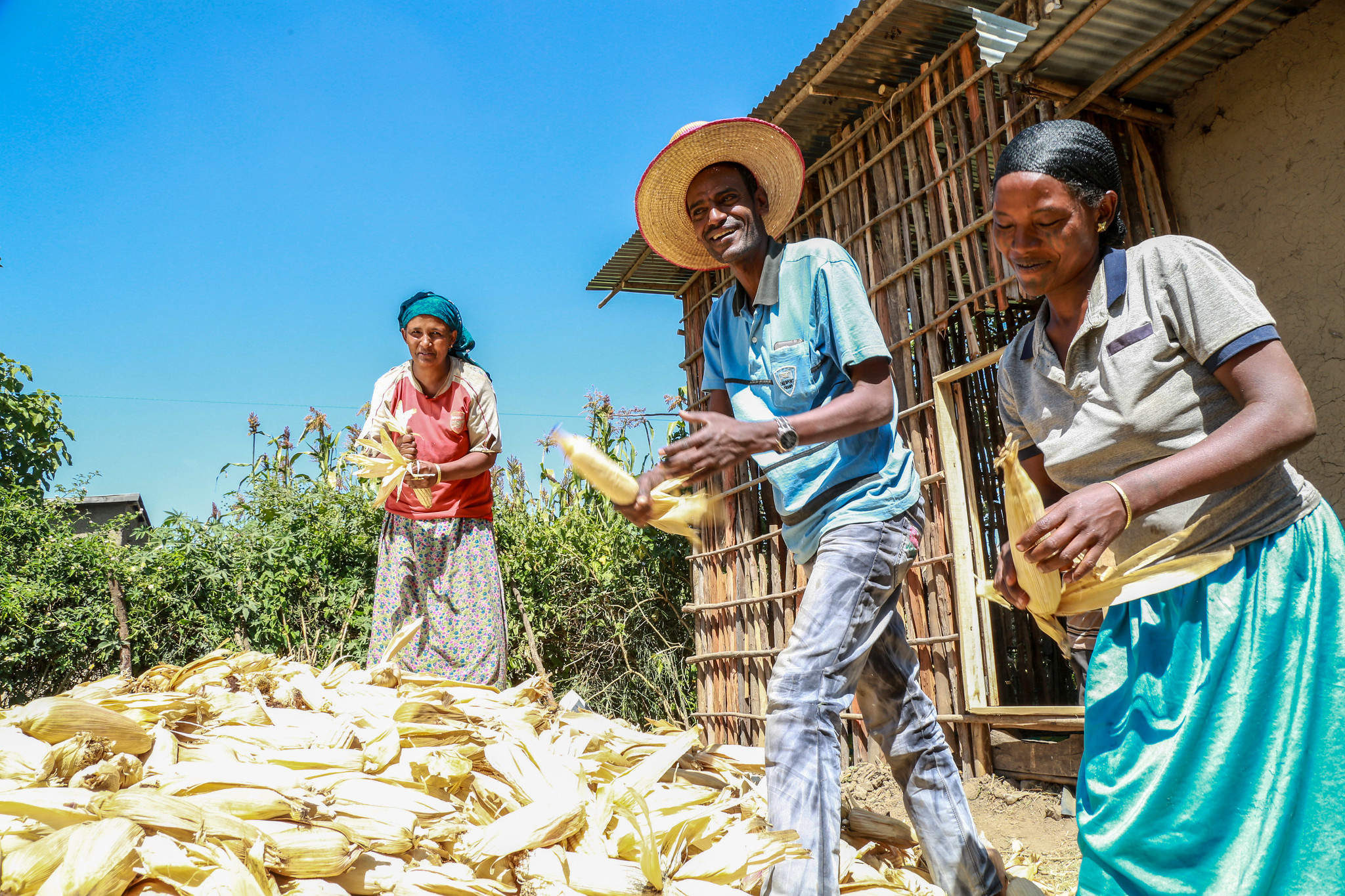 Farmers in low- and middle-income countries are benefiting from CIMMYT's improved maize and wheat varieties, suitable for drought- and disease-affected areas. (Photo: Apollo Habtamu/ILRI)