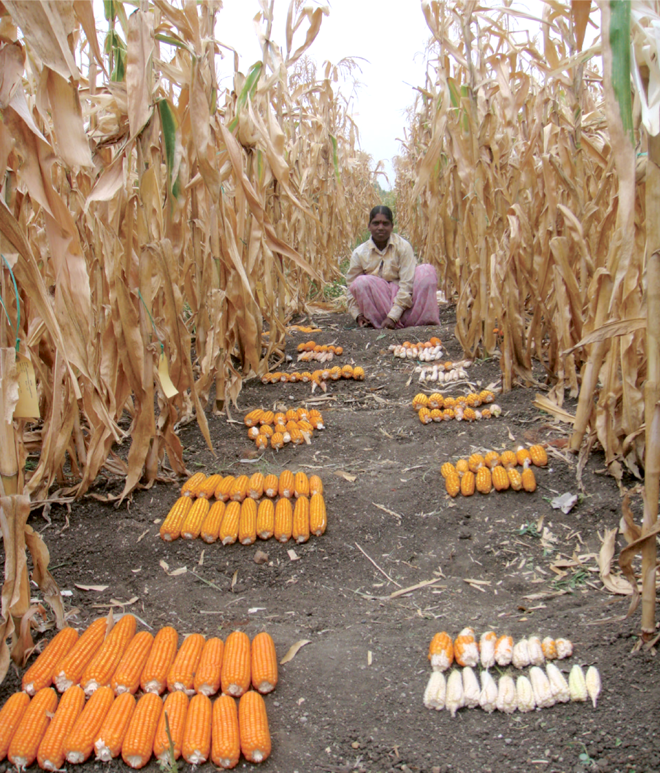 Variability among maize genotypes for agronomic and yield traits under managed drought stress. (Photo: CIMMYT)