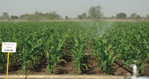 A sprinkler system irrigates a drought phenotyping trial field in Hyderabad, India. (Photo: CIMMYT)