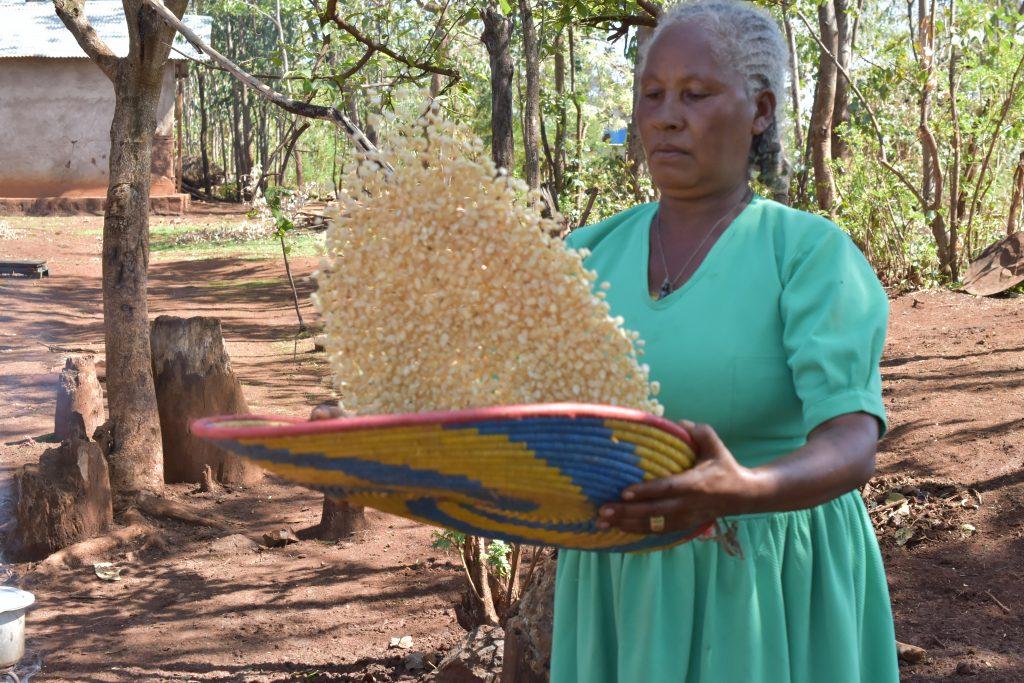 Sequare Regassa sorts maize grain. (Photo: Simret Yasabu/CIMMYT)
