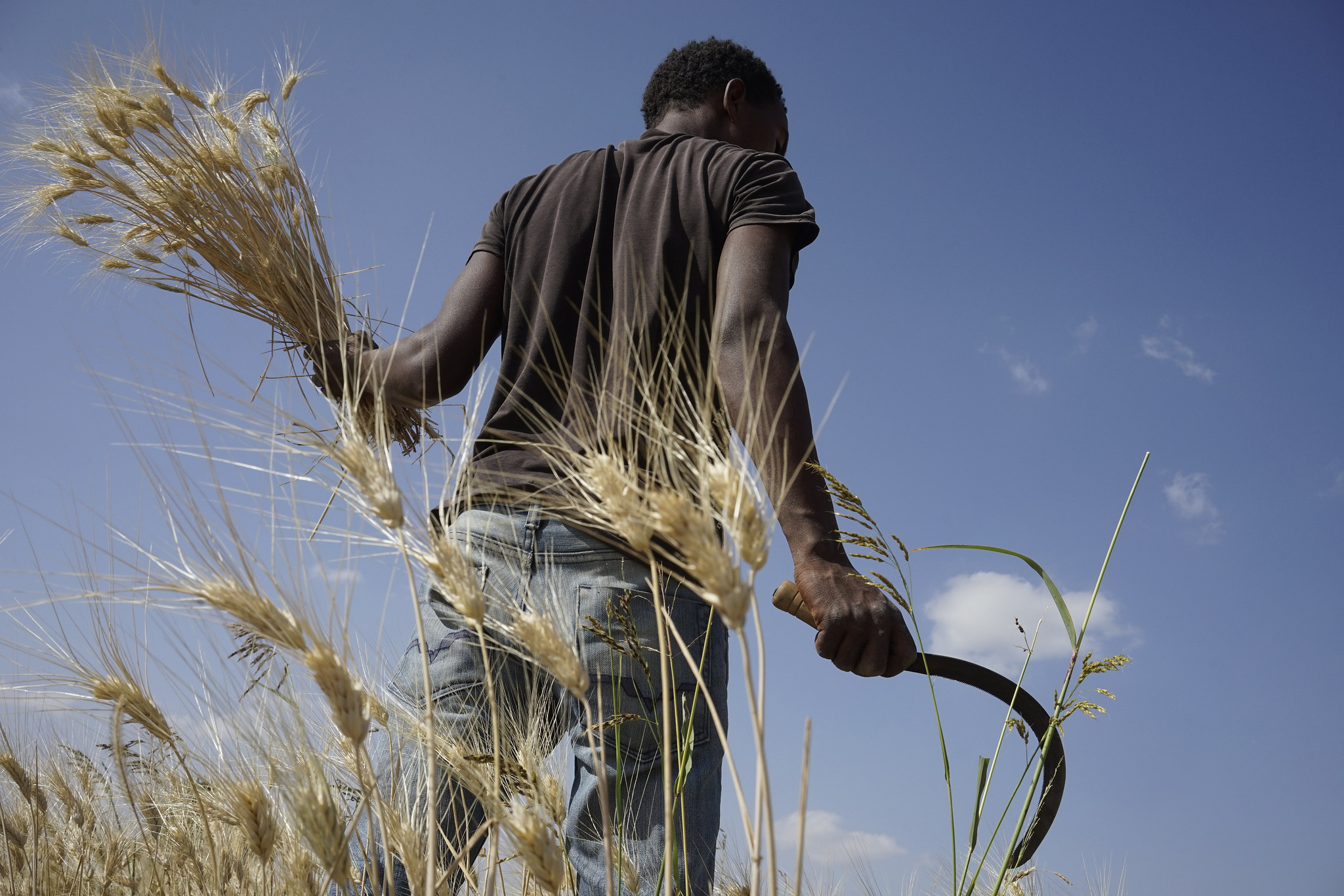 Farmer Galana Mulatu harvests a wheat research plot in Ethiopia. (Photo: P.Lowe/CIMMYT)