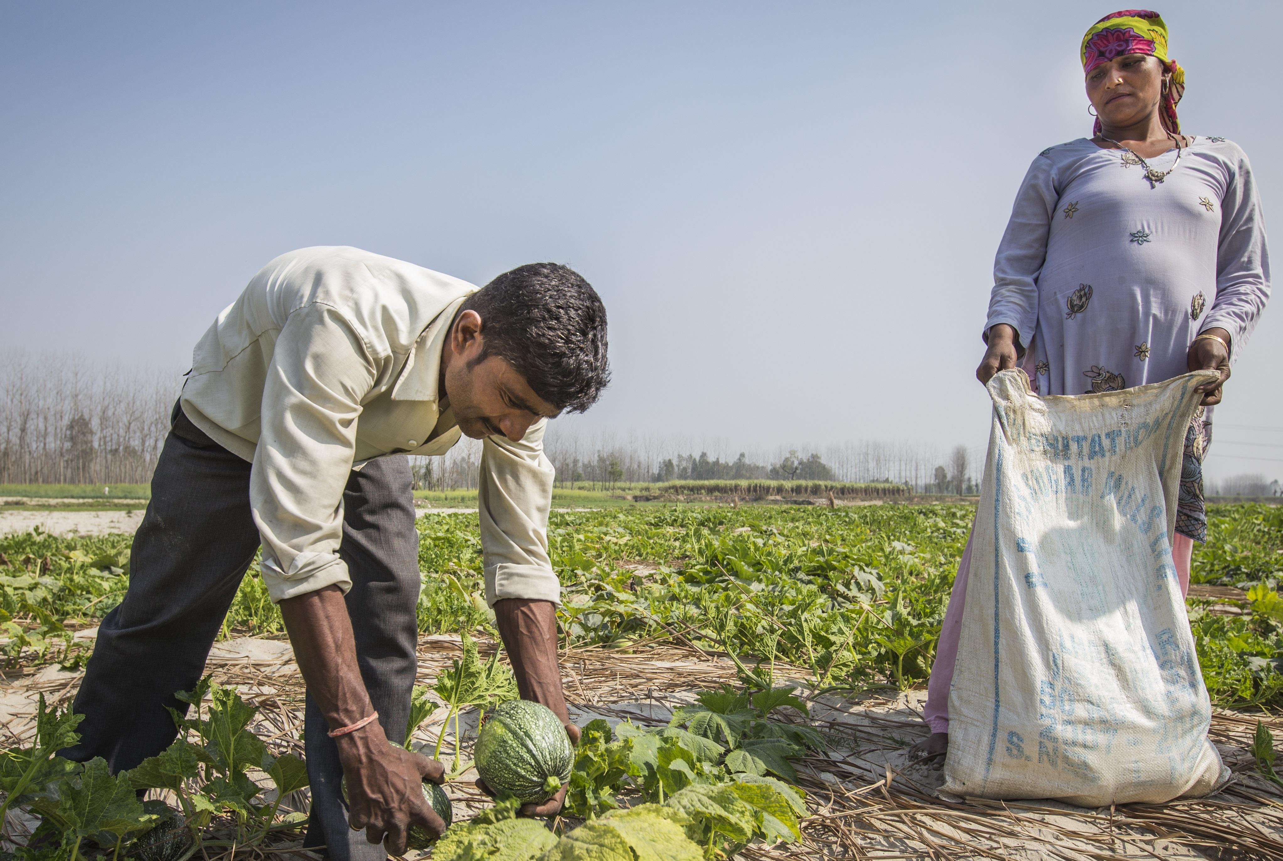 Farmers harvest squash in Uttarakhand, India. (Photo: Jitendra Raj Bajracharya/ICIMOD)