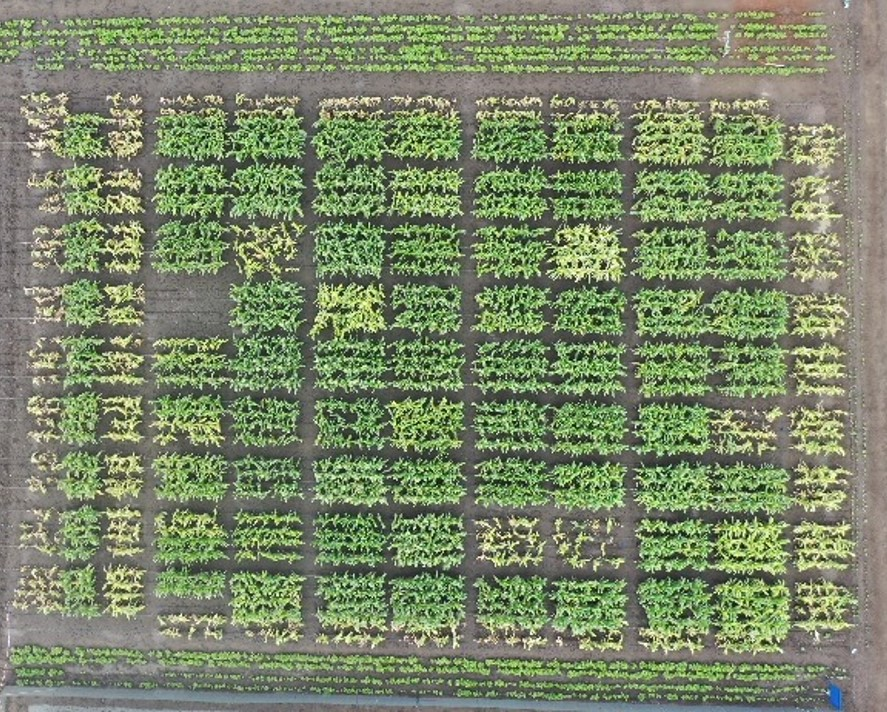 Maize Lethal Necrosis (MLN) sensitive and resistant hybrid demo plots in Naivasha's quarantine & screening facility (Photo: KIPENZ/CIMMYT)