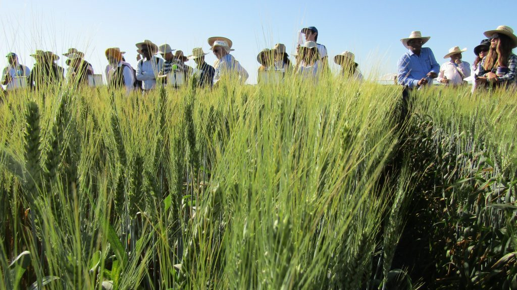 Visitors at CIMMYT's experimental station in Obregon, Mexico, where elite wheat lines are tested for new traits.