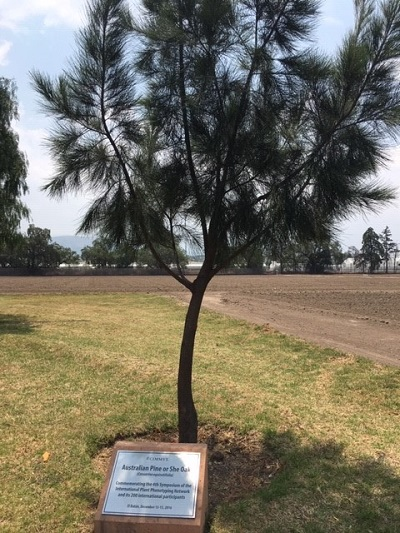 An Australian pine at CIMMYT's experimental station in Texoco, Mexico, commemorates the 4th symposium of the International Plant Phenotyping Network.