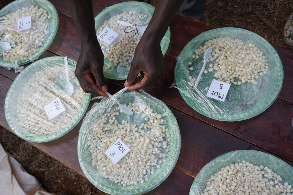 Plates of boiled and roasted maize are displayed for tasting during a farmer participatory varietal selection exercise in Embu, Kenya, in August 2019. Flavors of varieties are very distinct and could explain why some old varieties are still preferably grown by farmers. (Photo: S. Palmas/CIMMYT)