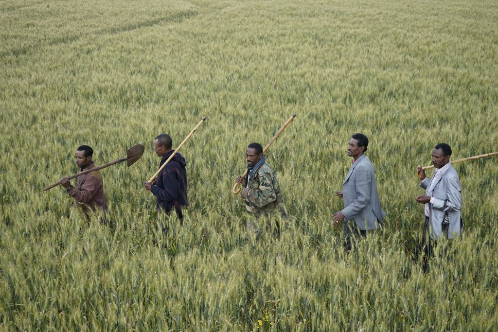 Farmers walk through a wheat field in Lemo district, Ethiopia. (Photo: P. Lowe/CIMMYT)