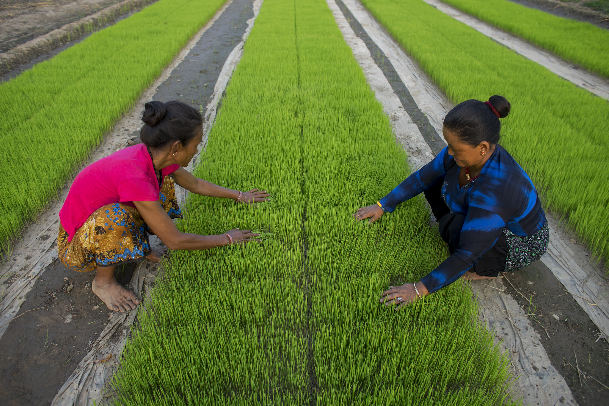Farmers Kanchimaya Pakhrin and her neighbor Phulmaya Lobshan weed rice seedling bed sown by machine in Purnabas, Kanchanpur, Nepal. (Photo: P. Lowe/CIMMYT)