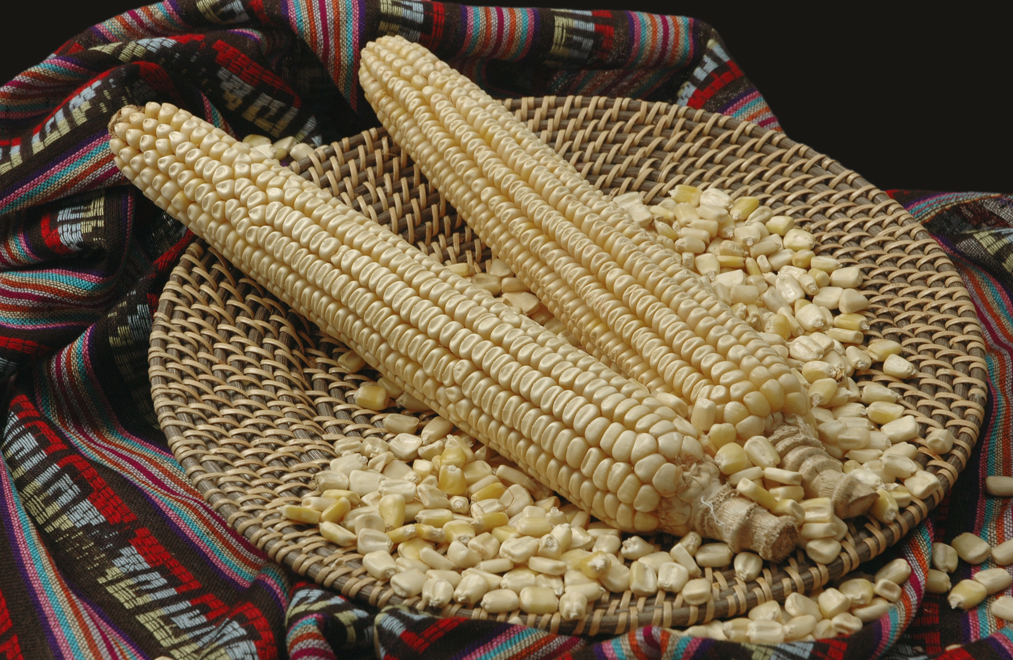"Maize ears and seed of the Mexican ""Jala"" landrace, native to the town of Jala, in the state of Nayarit. It is dent in type and white in color. This landrace is famous for producing the longest maize ears in the world. (Photo: CIMMYT)"