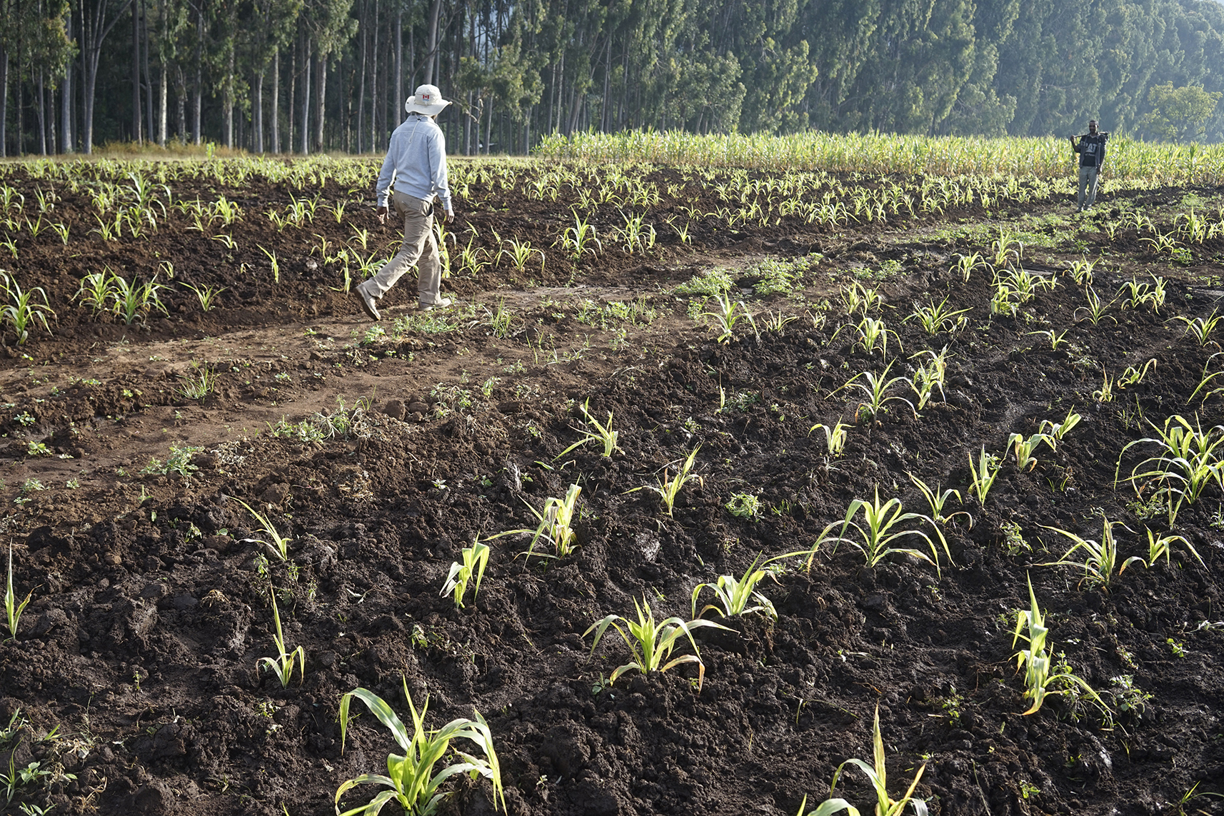 Researchers visit maize fields in Ethiopia's Wondo Genet Agricultural Research Center. (Photo: Peter Lowe/CIMMYT)