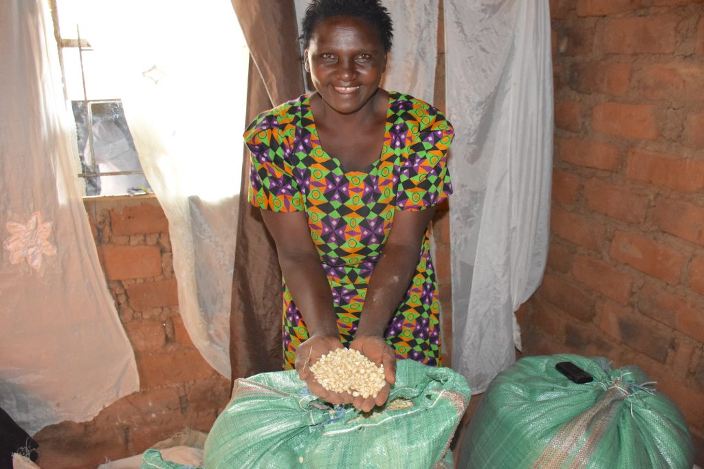 Dolly Muatha shows maize from her farm in Makueni County, eastern Kenya. (Photo: Joshua Masinde/CIMMYT)