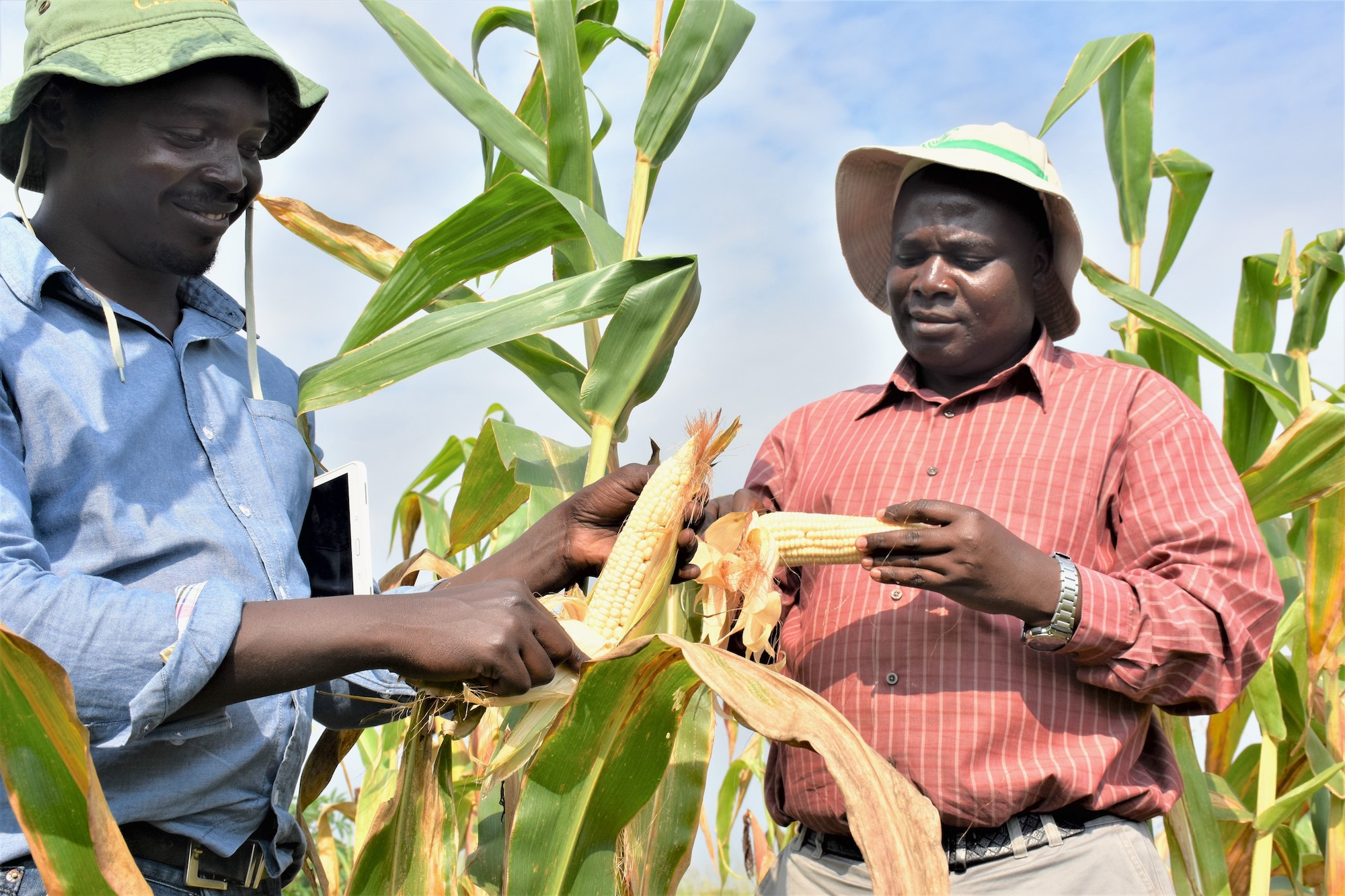 Godfrey Asea (right), director of the National Crops Resources Research Institute (NaCRRI), and Uganda's National Agricultural Research Organization (NARO) maize breeder, Daniel Bomet, visit an improved maize plot at NARO's Kigumba Station, in central Uganda. (Photo: Joshua Masinde/CIMMYT)