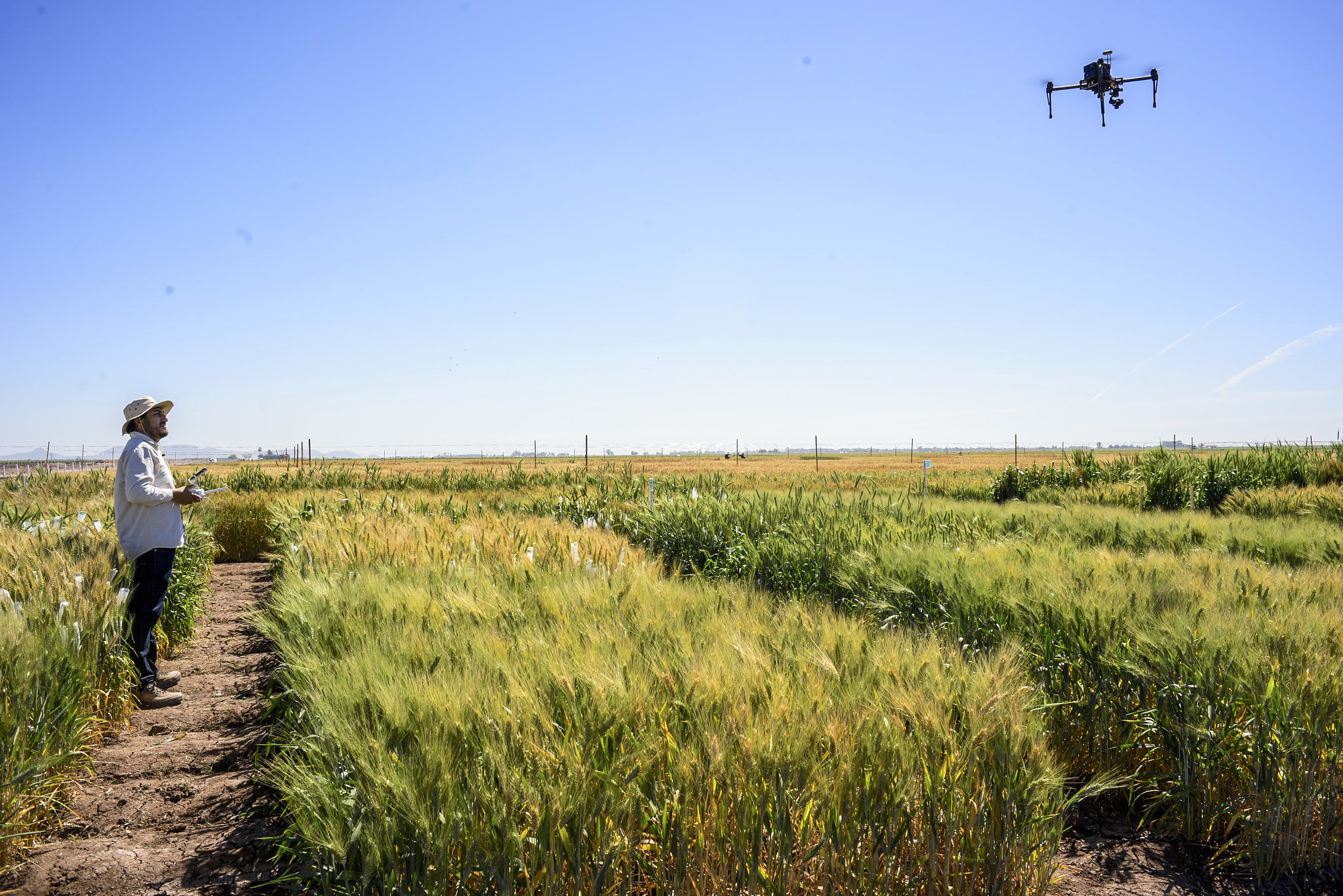 CIMMYT scientist Francisco Pinto operates a drone over wheat plots at CIMMYT's experimental station in Ciudad Obregon, Mexico. (Photo: Alfonso Cortés/CIMMYT)