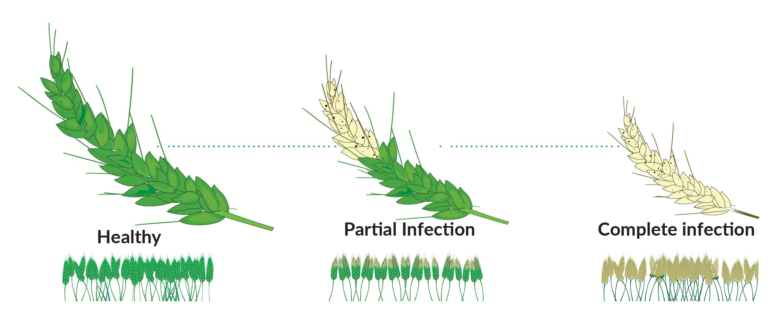 The pathogen can infect all aerial wheat plant parts, but maximum damage is done when it infects the wheat ear. It can shrivel and deform the grain in less than a week from first symptoms, leaving farmers no time to act.