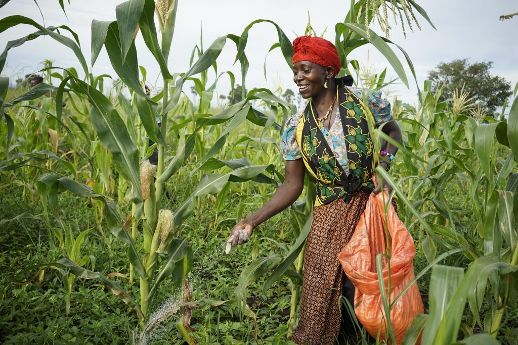 A farm worker applies fertilizer in a field of Staha maize for seed production at Suba Agro's Mbezi farm in Tanzania. (Photo: Peter Lowe/CIMMYT)
