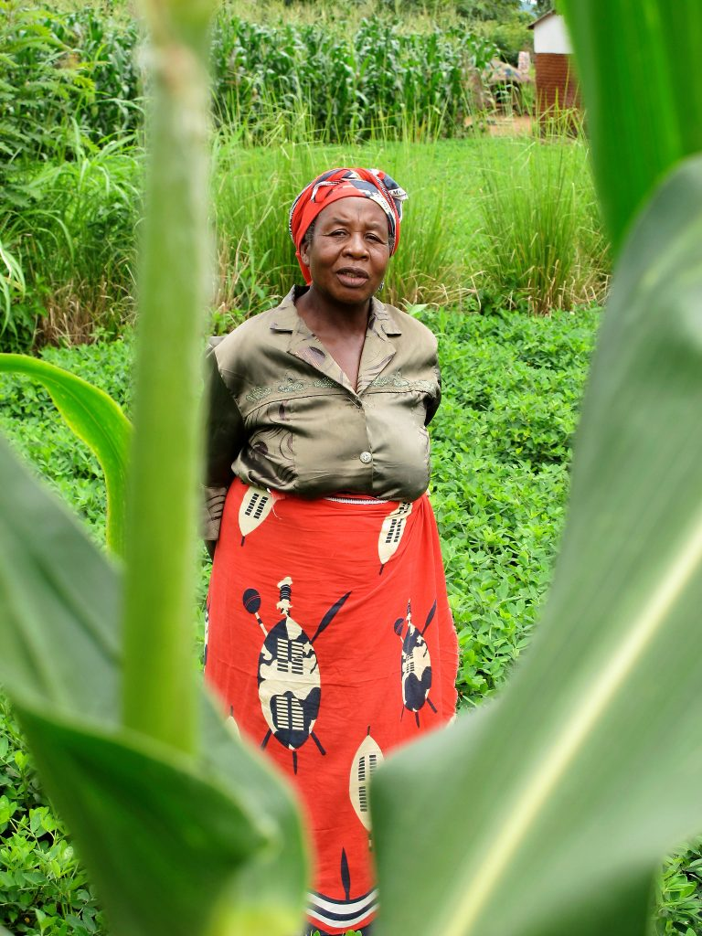 Belita Maleko, a farmer in Nkhotakota, central Malawi, sowed cowpea as an intercrop in one of her maize plots, grown under conservation agriculture principles. (Photo: T. Samson/CIMMYT)