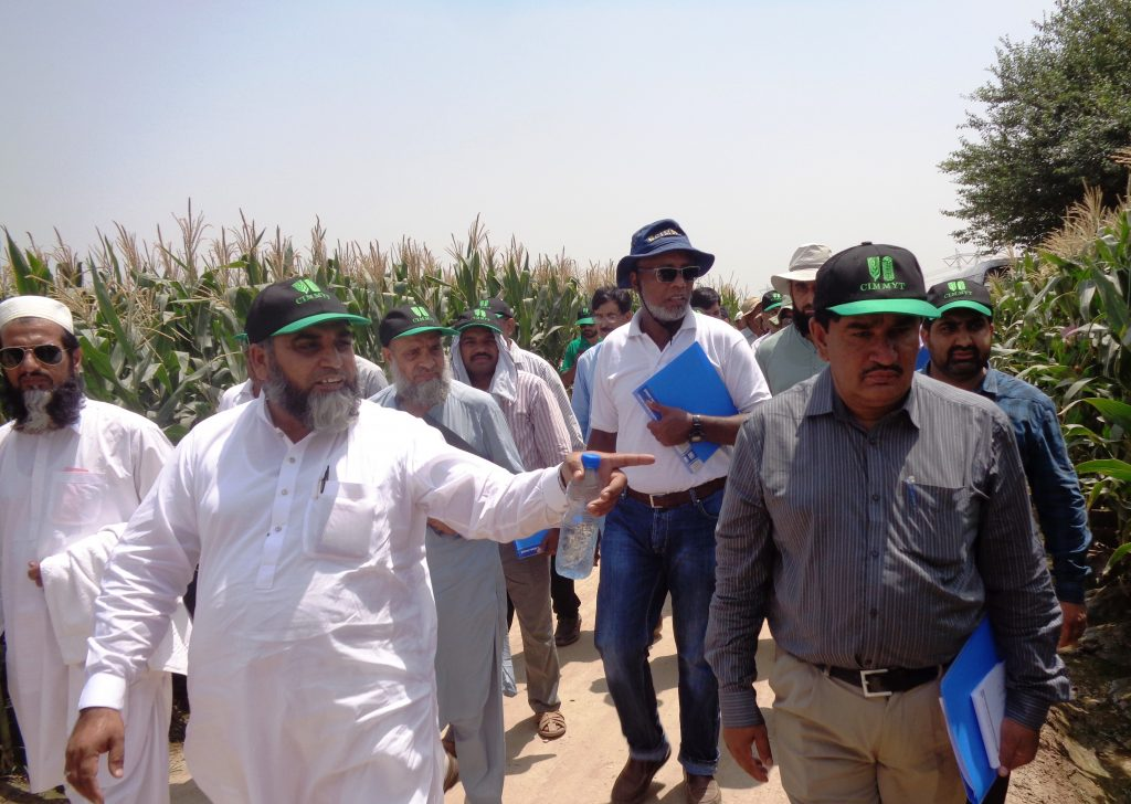 A group of maize experts visits maize research and seed production fields at the Maize and Millets Research Institute (MMRI) in Yousafwala, Pakistan. (Photo: CIMMYT)