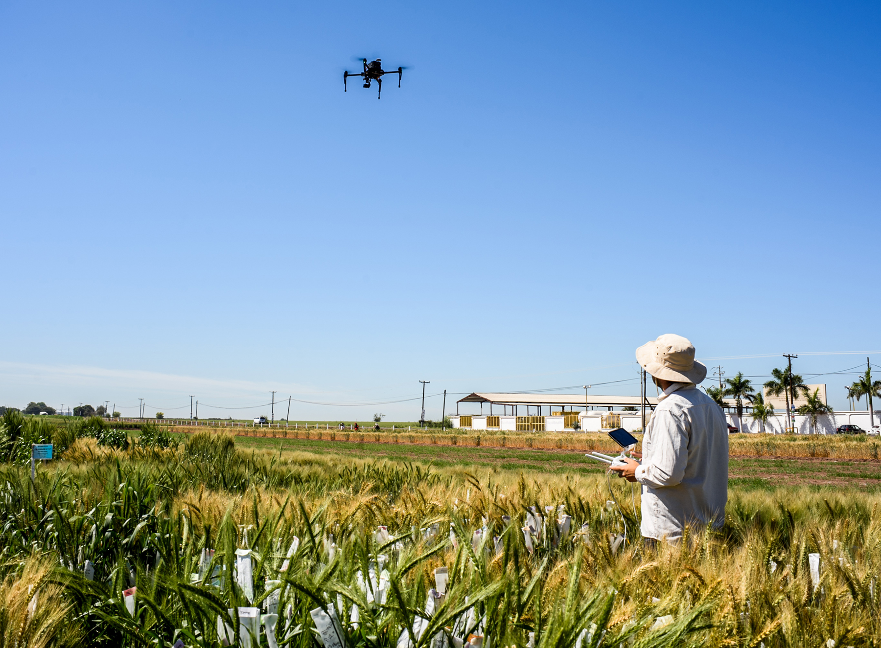 A researcher flies a UAV to collect field data at CIMMYT's experiment station in Ciudad Obregón, Mexico. (Photo: Alfonso Cortés/CIMMYT)